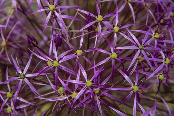 Purple by interchelleamateurphotography