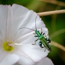 Thick legged flower beetle by chavender
