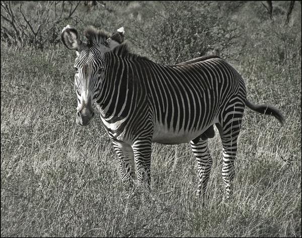 Zebra stallion by JuBarney