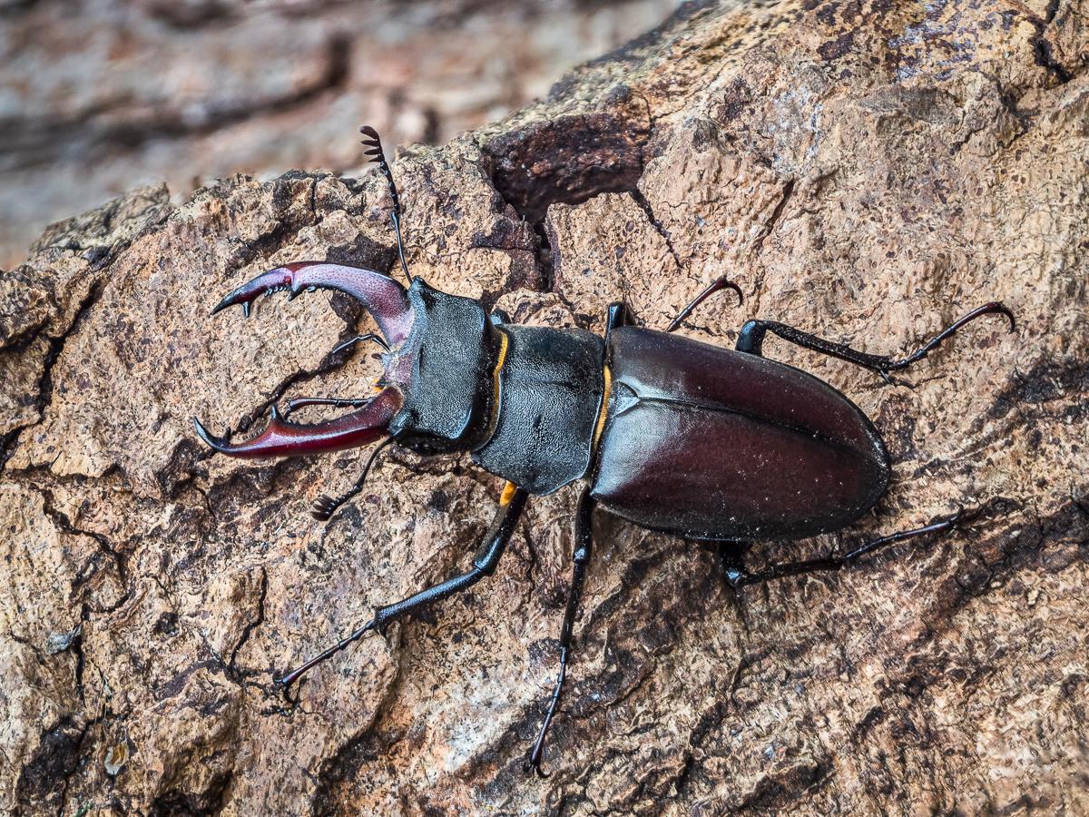 Male Stag beetle, Lucanus cervus