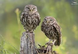 Pair Of Little Owls