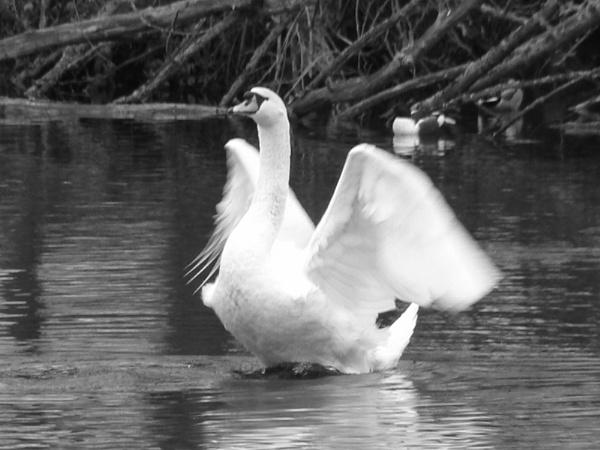 Swan Lake by prin