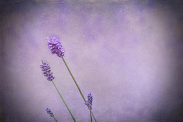 Lavender Dream by deavilin