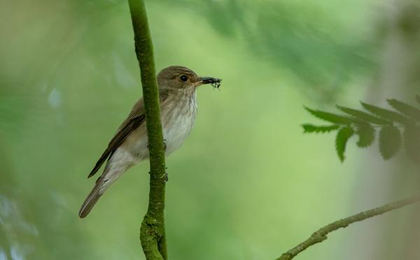 Spotted Flycatcher by stu8fish