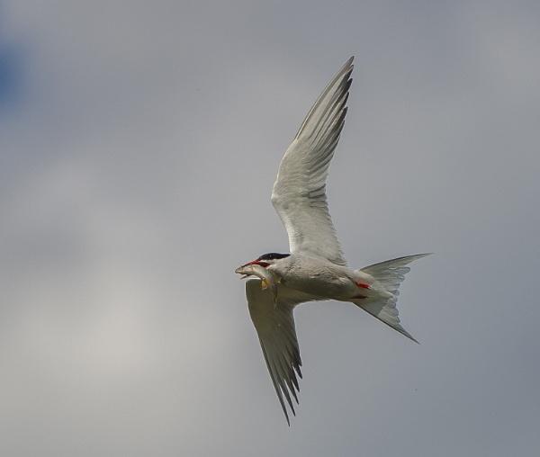 Artic Tern by 10delboy