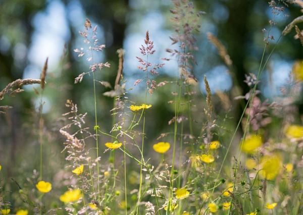 Buttercup meadow by Danny1970