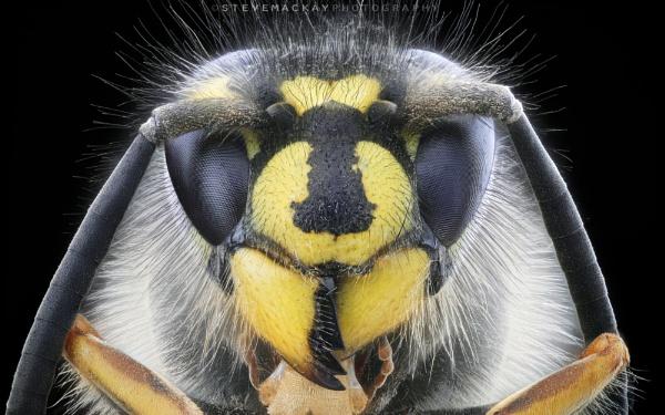Wasp by SteveMackay