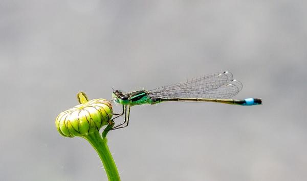 Dragonfly by Bill_C