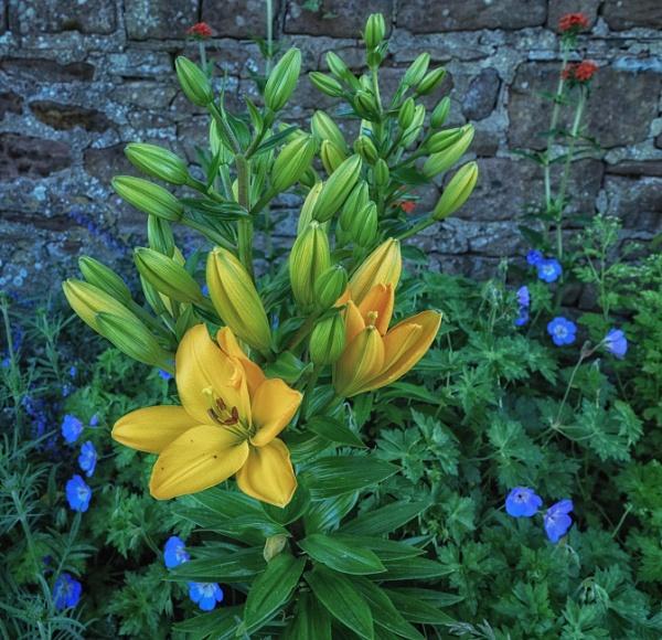 Lilies by BillRookery