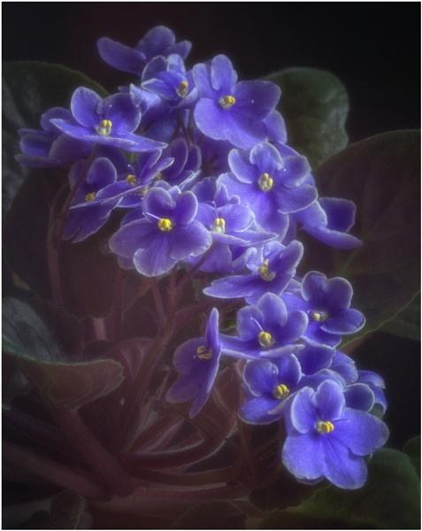 African Violet by BigAlKabMan