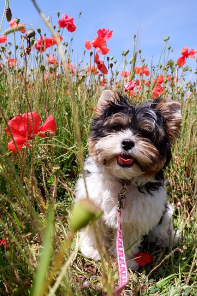 Sage in the poppies by JulieThomas