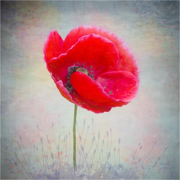 Red Poppy After Rain by Leedslass1