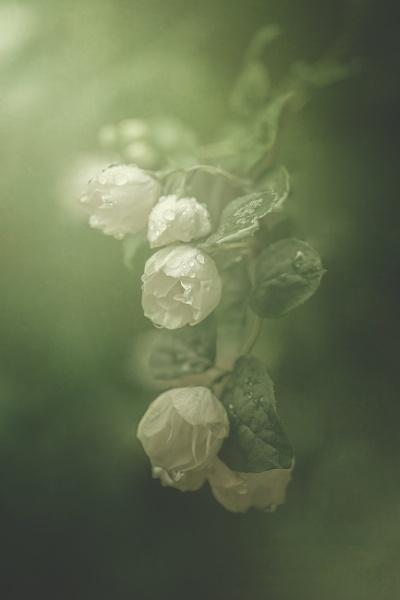 Jasmine by KristinaZvinakeviciute