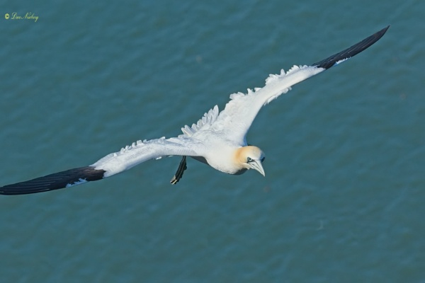 Northern Gannet by DaveNewbury