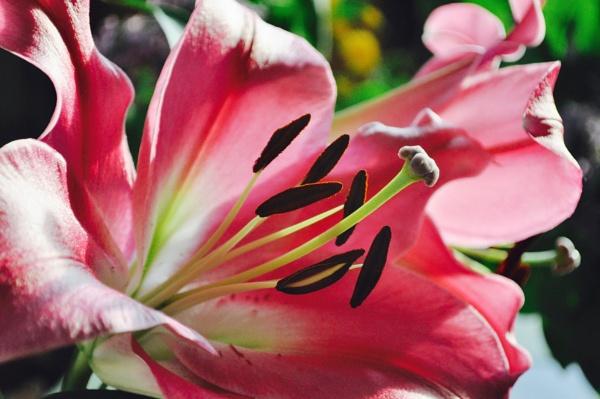 Stargazer lily by jerseygirl65