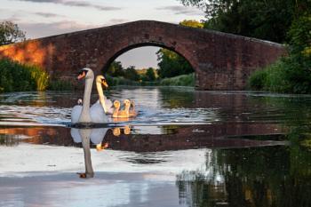 Sun-Kissed Swans
