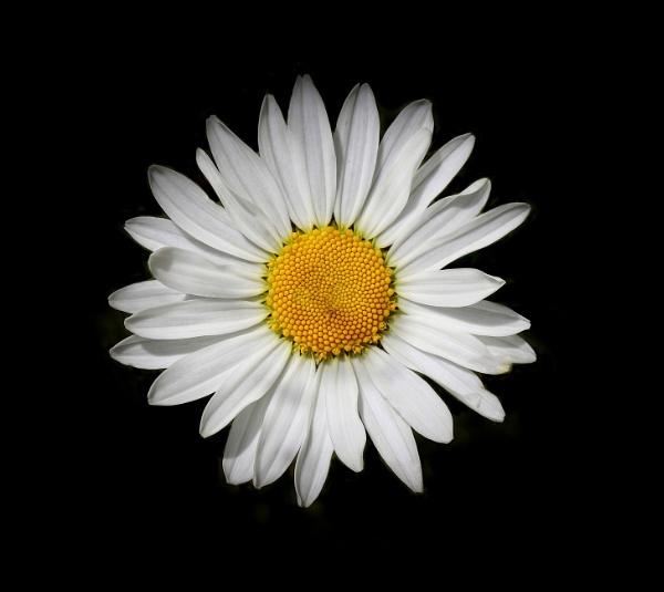 Shasta Daisy by adagio