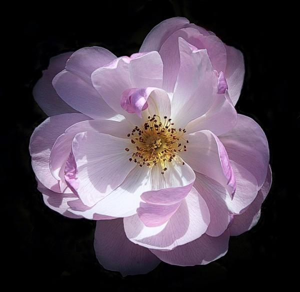 Flower of Summer by adagio