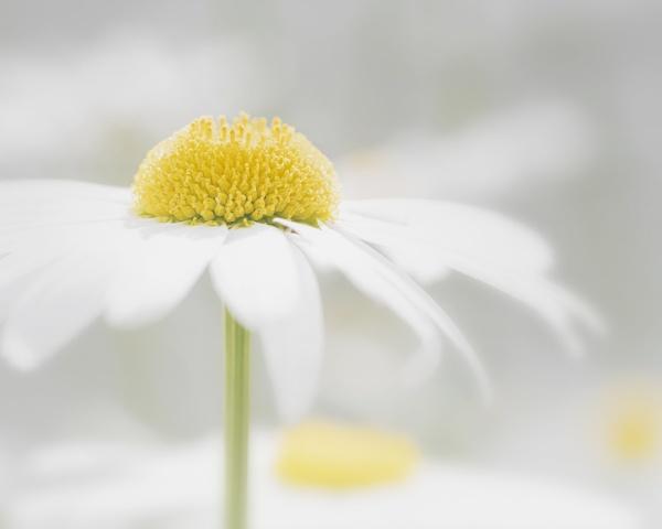 Daisy Dream by swilliams71