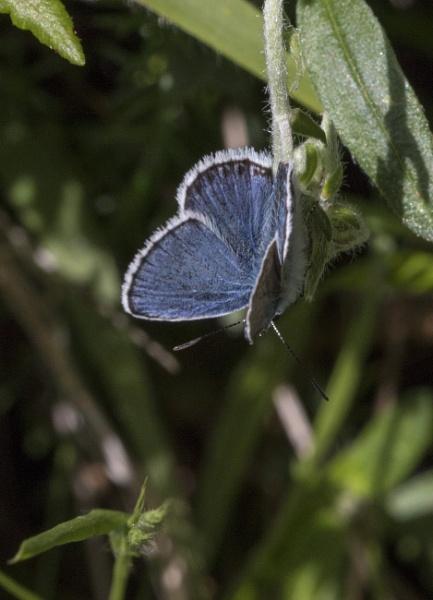 Male Silver Studded Butterfly by cymru2019