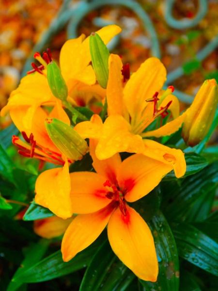 ** Garden Lilies ** by Rock
