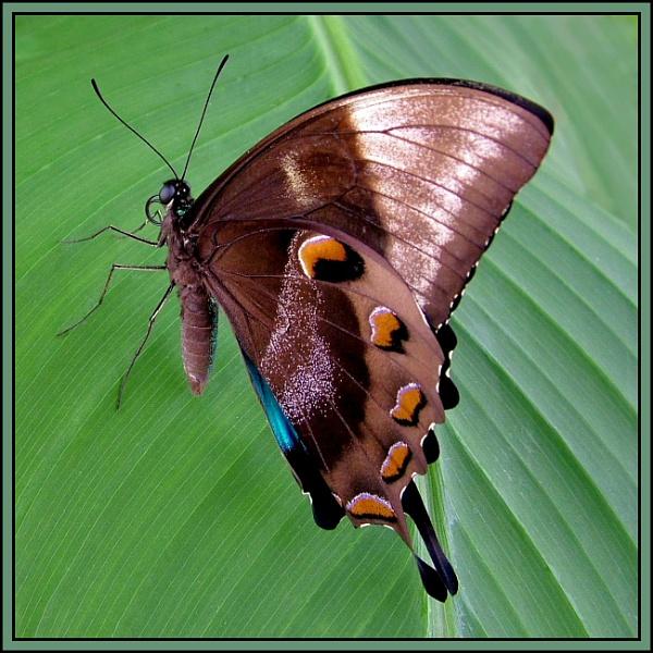 Swallowtail Butterfly by pamelajean