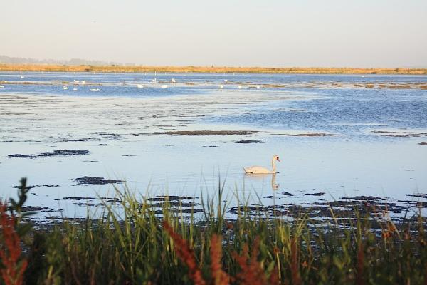 Swan in Marsh by Richard707