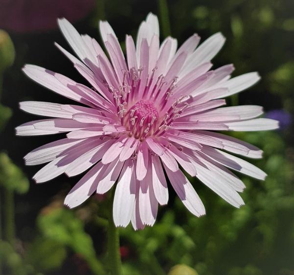 Crepsis Rubra. Pink Dandylion by rosej