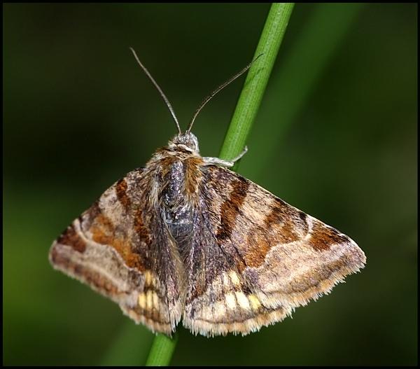 Burnet Companion Moth ... by Badgerfred