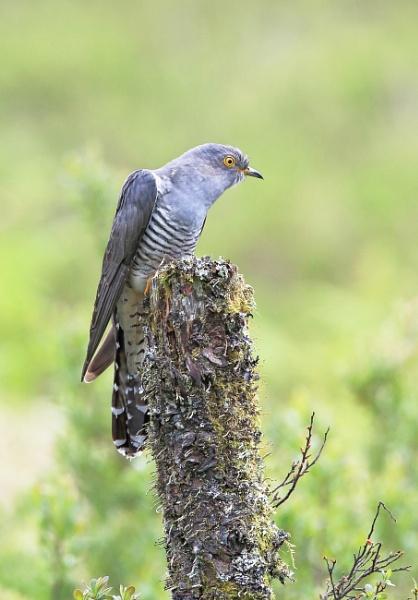 Cuckoo by HenB