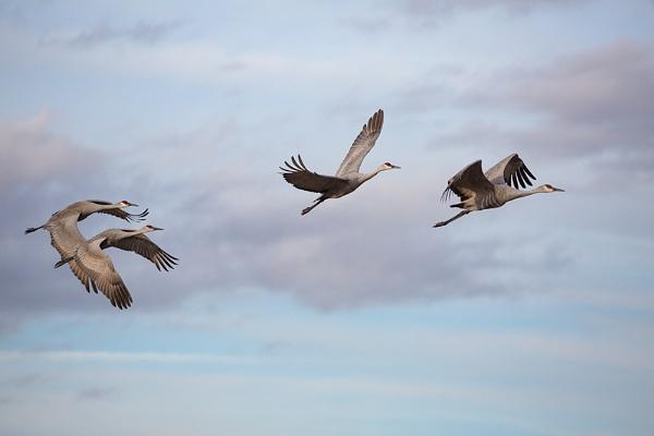 Sandhill Cranes in flight by rontear