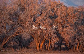 Dawn landing Snow Geese