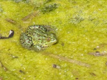 Corfu Frog