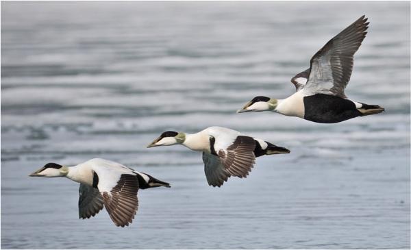 Eider Ducks by mjparmy