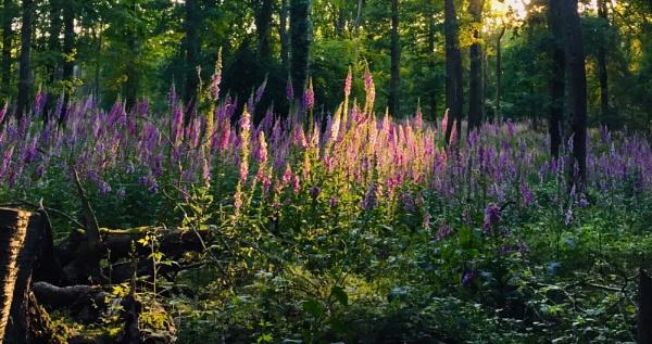 Evening Foxgloves by jimbo_t