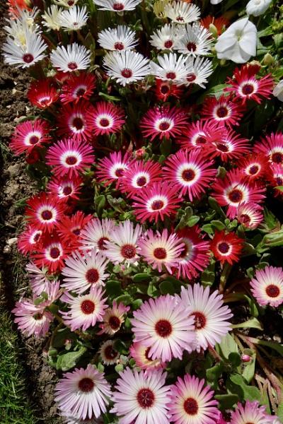 Mesembryanthemums by raywalker