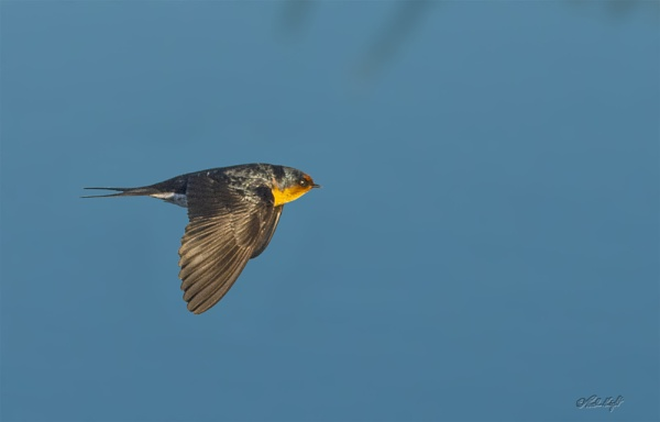 Swallow (0045) at Hokio Beach by paulknight