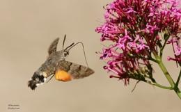 Broad bordered bee hawk moth