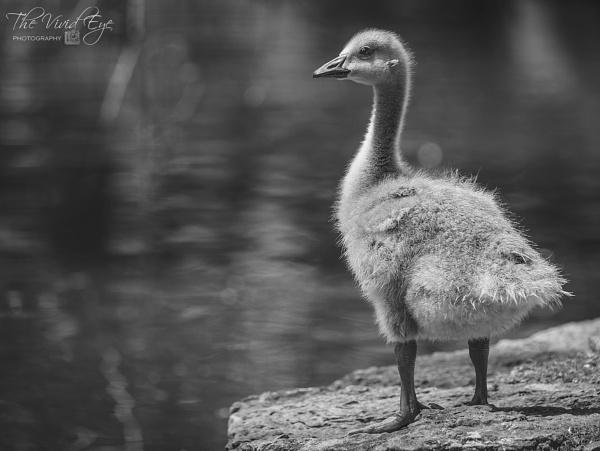 Gosling by MartinWait
