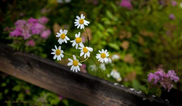 Flowers. by kuvailija