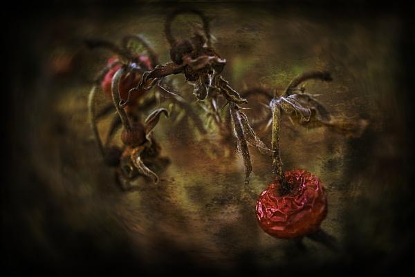 Rose Hip by akh
