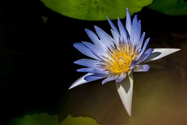 Water lily by manicam