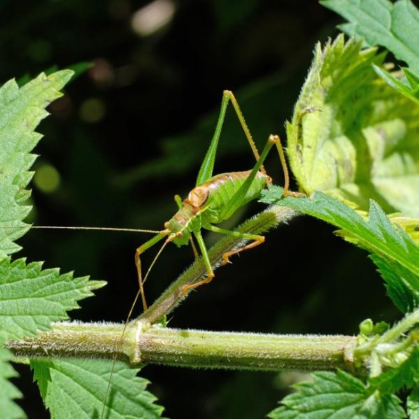 Bush Cricket by RSFphoto