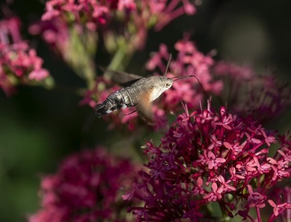 Hummingbird Hawk Moth? by doverpic