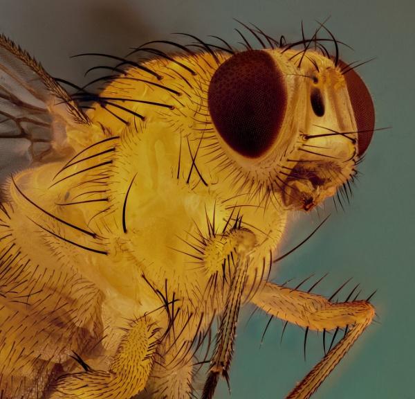 Yellow Fly by stu8fish