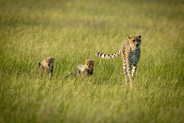 Female cheetah and two cubs cross savannah by NickDale