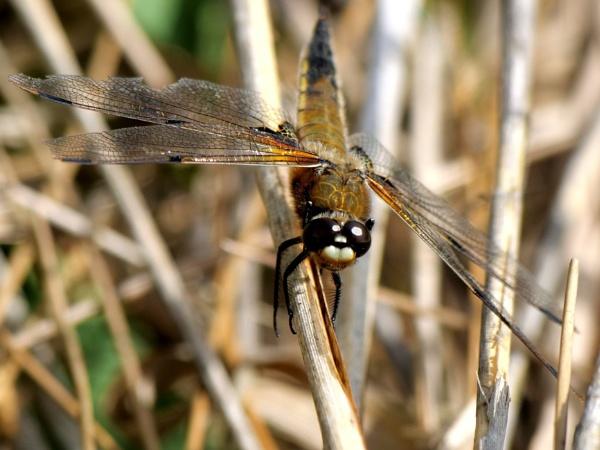 Dragonfly by DerekHollis