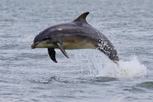 Dolphin by Lencollard