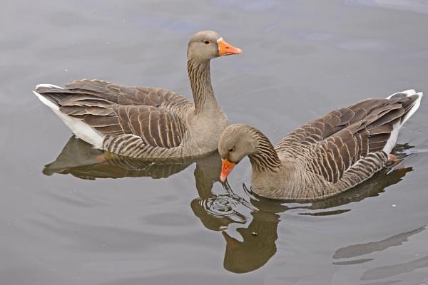 grey lag geese western spiecies by krebsbaum