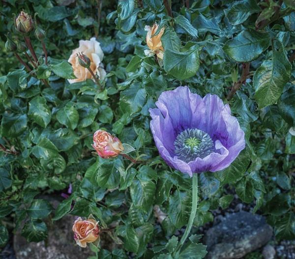Purple poppy by BillRookery